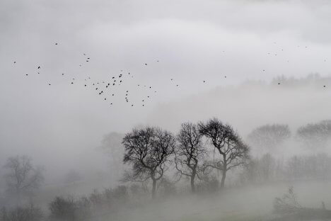 Foggy forest of leafless trees with birds flying above